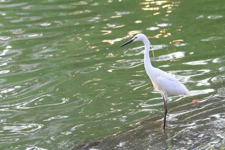 bayou: white egret at the lake Stock Photo