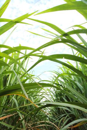 sugarcane: space of between sugarcane row Stock Photo