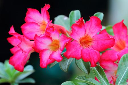 obesum: Pink  Adenium Obesum