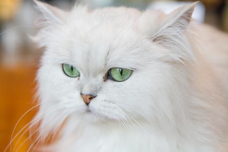 velvety: White Persian cat
