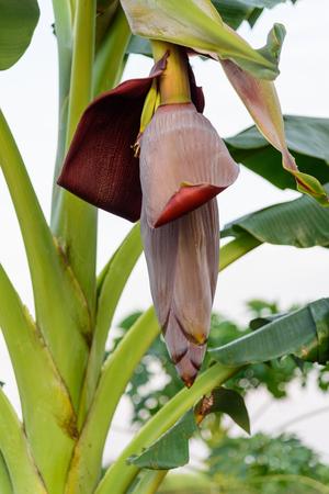 Fresh banana blossom