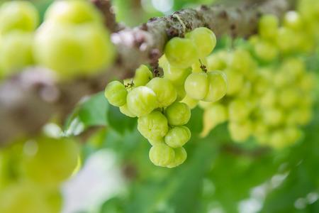 gooseberry: Fresh star gooseberry Stock Photo