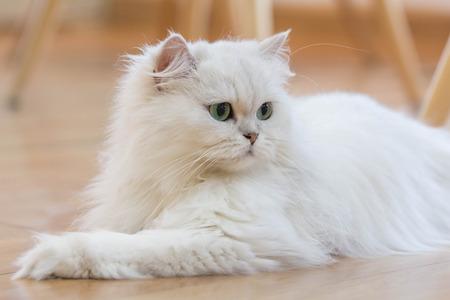 素敵な白いペルシャ猫
