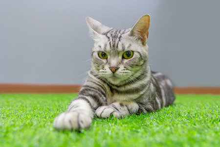 American Curl cat on green artificial grass Stock Photo