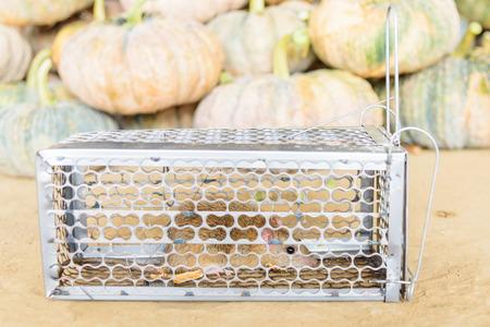 Rat in trap / pest of pumpkin
