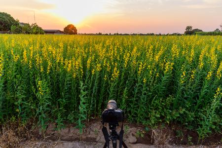 sunhemp field in sunset time /  Crotalaria juncea 免版税图像