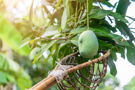 Use long-handled fruit-picker for get green mango on tree