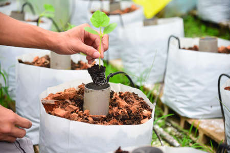 Plant The Sapling in Crop bags Archivio Fotografico