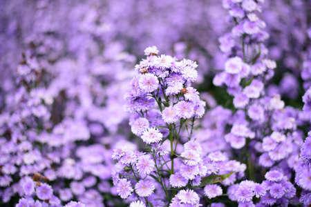 Fresh Margaret flower field garden at the mountain