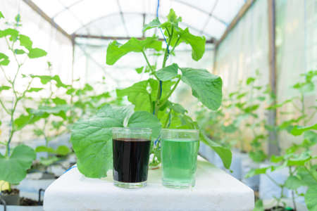 A and B type of Liquid fertilizer in the glass for Melon Hydroponics system
