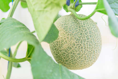 fresh melon in greenhouse