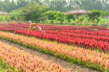 Beautiful colorful Chinese wool Flower park in sunset time 版權商用圖片