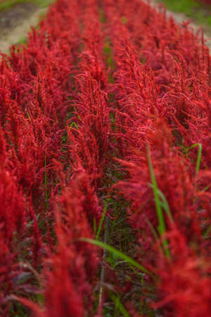 Beautiful colorful Chinese wool Flower park in sunset time 版權商用圖片 - 167175828