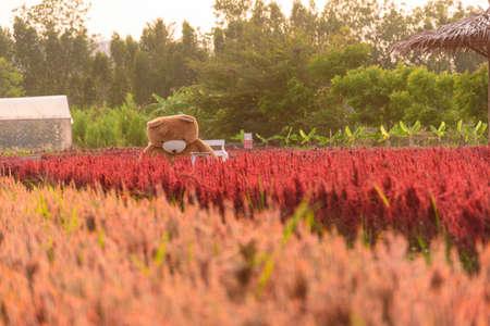 Rachaburi,Thailand - 24 March, 2021: Beautiful colorful Chinese wool Flower farm at Nuanaboon Flower farm