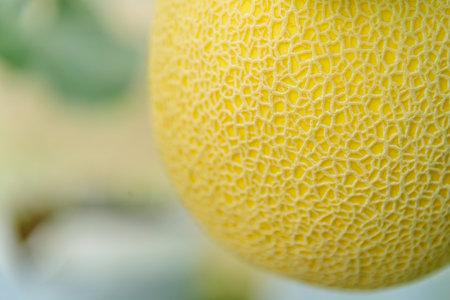 Closeup to fresh yellow galia melon in greenhouse