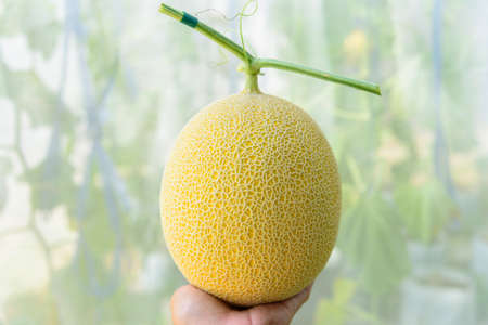 Fresh galia yellow melon in greenhouse 版權商用圖片