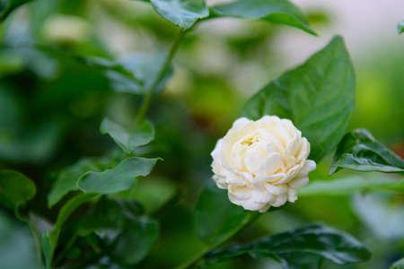 Closeup to a fresh jasmine in garden