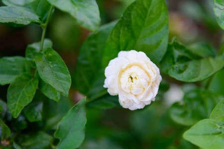a fresh jasmine in garden