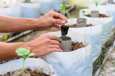 Plant The green melon Sapling in Crop bags 版權商用圖片