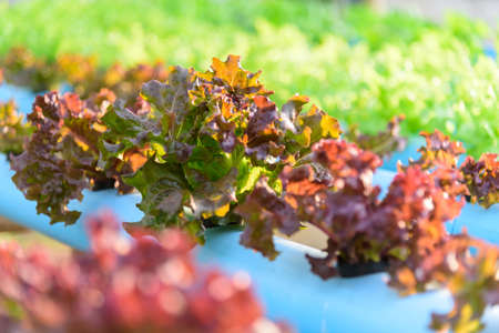 closeup to  young red coral salad in hydroponics system pipe 版權商用圖片
