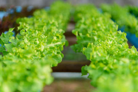 closeup to fresh greenoak in hydroponics system pipe