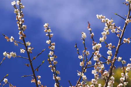 Blossom in winter season at Doi Pui Chiangmai, Thailand