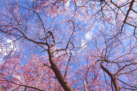 wild Himalayan Cherry blossom with blue sky at Doi pui, chiang mai, thailand