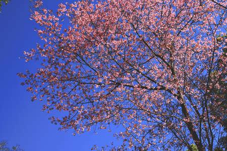 wild Himalayan Cherry blossom with blue sky at Doi Pui, Chiangmai, Thailand Stock Photo