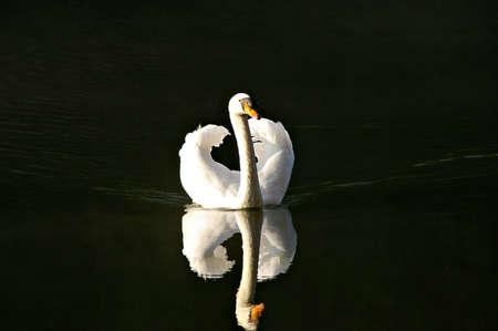 White swan in the lake