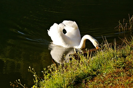 white swan looking for food Stock Photo
