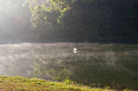 white swan in the lake Stock Photo