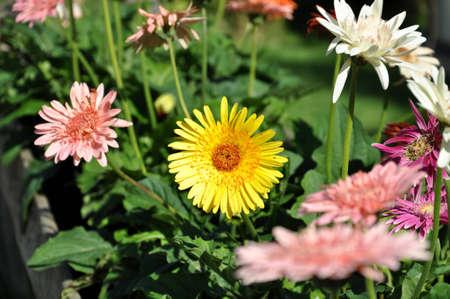 Gerbera , Barberton daisy