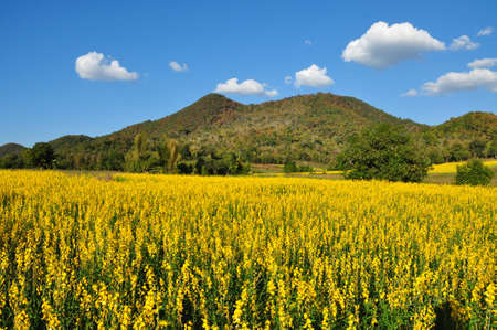 Shades of yellow of  Indian hemp flowering and mountain  photo