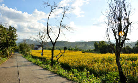 Flowering indian heam along the side of the road at Pai Mae Hong Son Province  Northern Thailand Stock Photo - 16857168