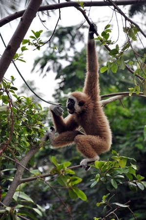 Gibbon hanging on the tree Stock Photo