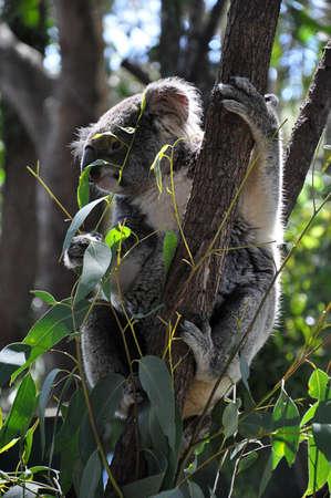 Koala holding on eucalyptus tree