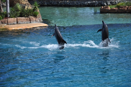 Two dolphins standing and move slightly backward in the pool
