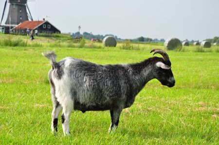 Goat in grassland  photo