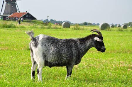 Goat in grassland
