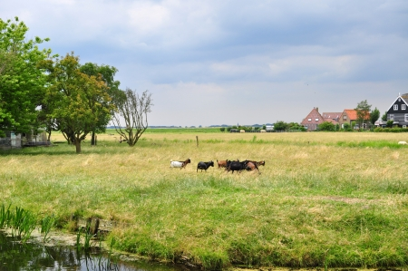 Goats walking through the grass in the countryside of holland