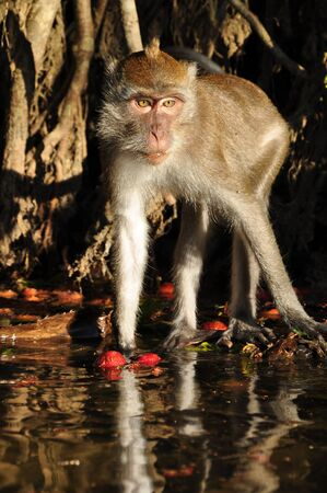 Macaque monkey, Monkey Forest at Khao Sok national park of Thailand photo