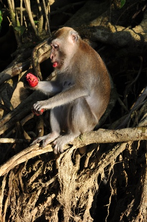 Long-tailed macaques eating wild fruits