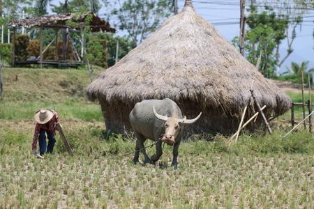 buffalo grass: Buffalo on the grass Stock Photo