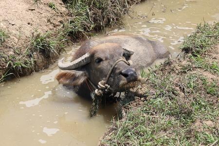 soak: Buffalo soak water. Stock Photo