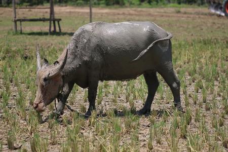 buffalo grass: Buffalo eats grass.