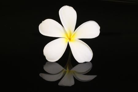 rocks water: White Plumeria flower isolated on black background
