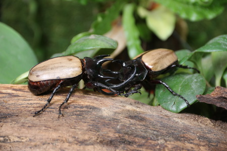 he: Rhinoceros beetle 5 He Green fight. Stock Photo