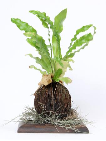 polypodiaceae: Fern on white background Stock Photo