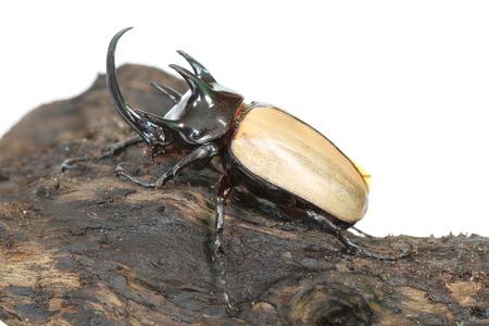 he: Rhinoceros beetle 5 He.