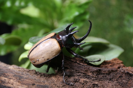 he: Rhinoceros beetle 5 He Green fight. Stock Photo